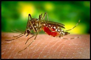 Mosquito del género Aedes